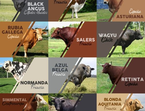 Doce razas de ternera en Instinto Carnívoro